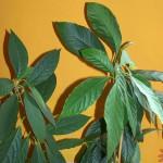 Blätter einer Avocadopflanze
